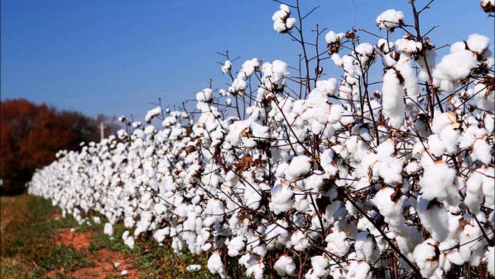 2135516969_CottonFields.thumb.jpg.af910f6f2915bb87b98f5f255ea54218.jpg