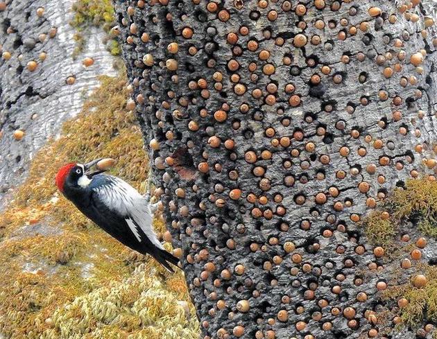 1628503607_woodpeckerstoresnuts.png.ec702d960265dad3b1ede60b18f797ec.png