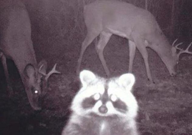 666886390_Racoon-TrailCam.png.cf1f32491a73906ff22aabe2581fb952.png