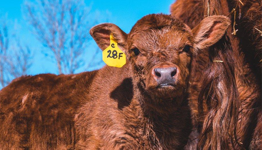 cow ear tag.jpg