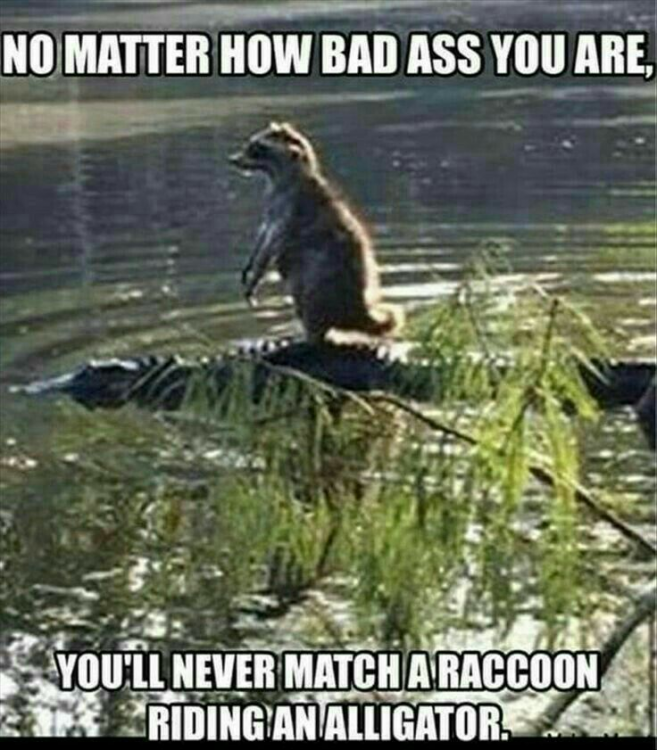 racoon riding gator.png