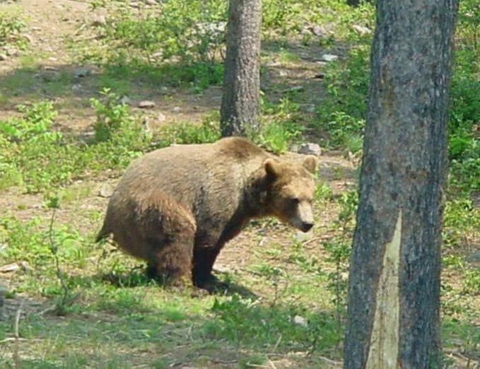 Bear in woods.jpg