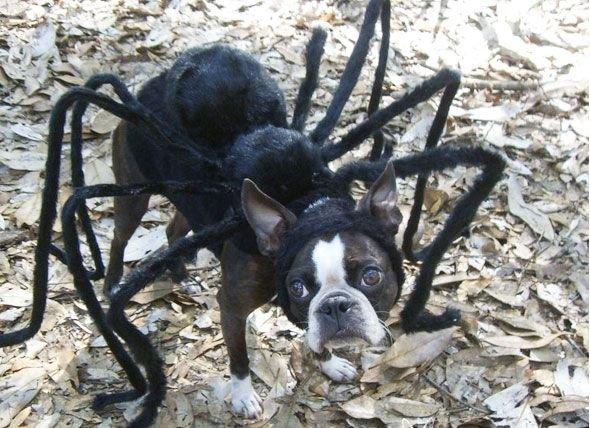 1841460886_spiderdog.jpg.076f511e30b8c793b55d2eb99759eae1.jpg