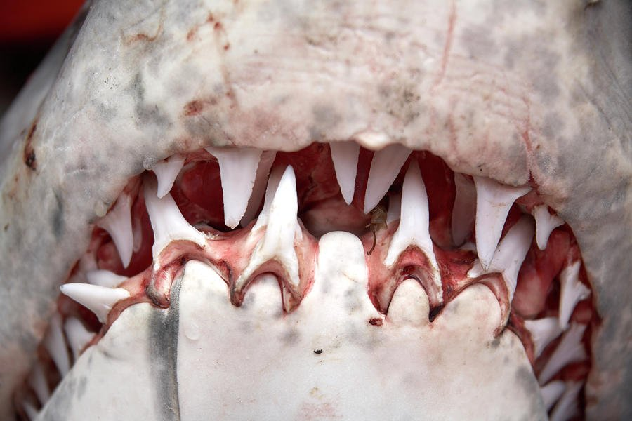 teeth-in-mouth-of-great-white-shark-andrew-holt.jpg.92862c82fce4c0197858643ad50f6bd6.jpg
