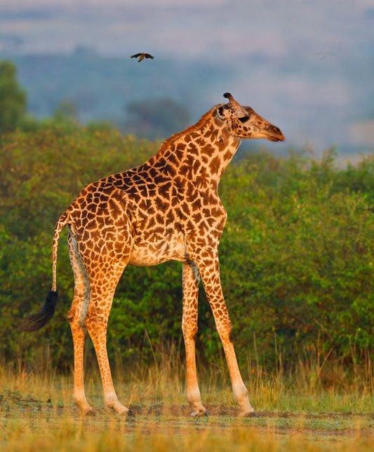 1612172870_Giraffe-ShortNeck.jpg.835a521e4efca99dfc661849e905e411.jpg