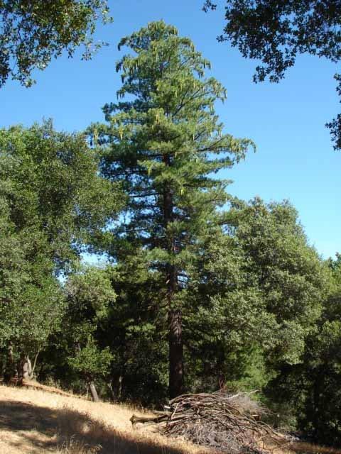 Pine Cones.JPG