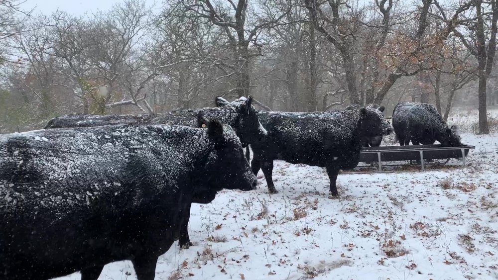 Icy Cows_Moment.jpg