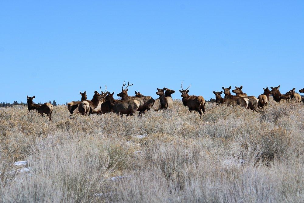 Elk2-11-21a.jpg