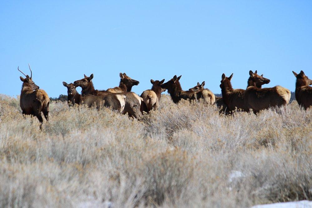 Elk2-11-21c.jpg