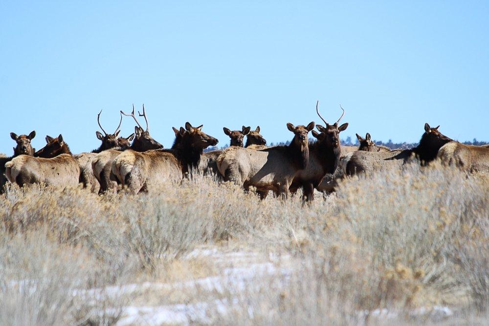 Elk2-11-21e.jpg