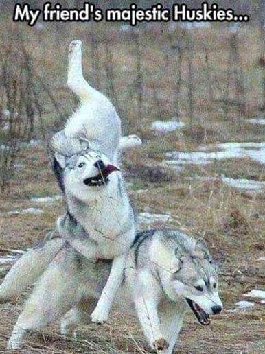 Siberian-Husky-Memes.jpg