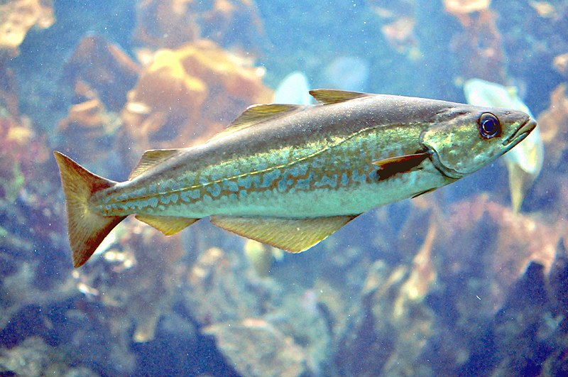 800px-Pollachius_pollachius_aquarium.jpg.0407a2dd30f6c50739a1d2821975ea10.jpg