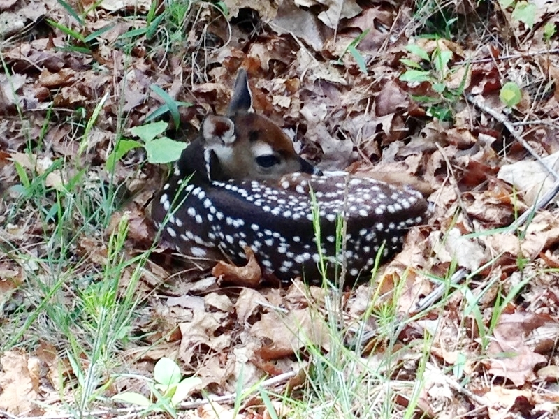 fawn in the woods.jpg