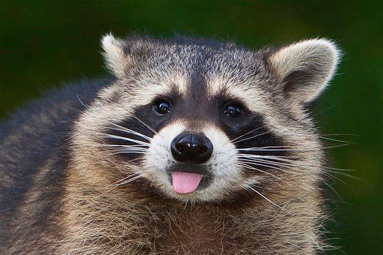 1811962750_Raccoon1.jpg.57fd035decbf611b053cdea24f8af295.jpg